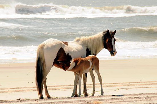Image: Chincoteague Ponies